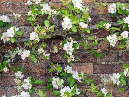 Apple blossom in a walled kitchen garden photo