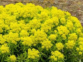 Yellow Euphorbia flowers in a walled garden photo