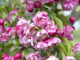Lovely double pink crab apple tree blossom photo