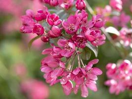 Lovely dark pink crab apple tree blossom photo