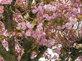 Cherry tree with pink blossom in spring photo