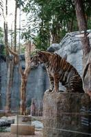 CHIANG MAI THAILAND  May 11 2019 The zoo staff is showing a tiger in the glass cabinet at Thailand Night Safari photo