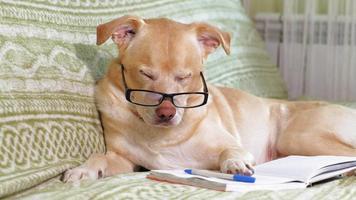perro labrador con gafas acostado en la cama video