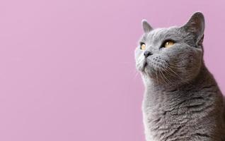 Grey cat on pink background photo