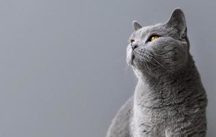 Beautiful grey cat on grey background