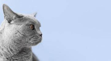 Side profile of grey cat photo