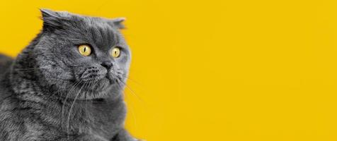Grey cat on yellow background photo
