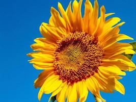 Sunflower close-up in the nature photo