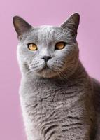Grey cat with pink background photo