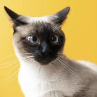 Cute Siamese cat on yellow background photo