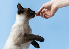 Cat eating a treat from human hand photo
