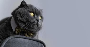 Cat wearing bowtie on grey background photo