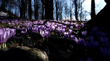 primavera naturaleza azafrán flores en el bosque video
