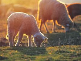 Flock of sheep on fresh spring green meadow during sunrise photo