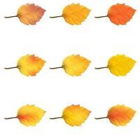 hojas de aliso realistas en colores cambiantes de otoño vector