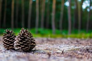 Three cones on the ground in the woods photo