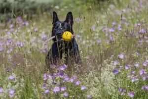 Black german shepherd is running on a field with blossoming meadow photo