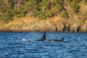 Familia de orcas en el mar y el océano cerca de juneau en alaska foto