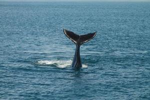 Una joven ballena jorobada megaptera novaeangliae agita su cola fluke fuera del océano atlántico foto