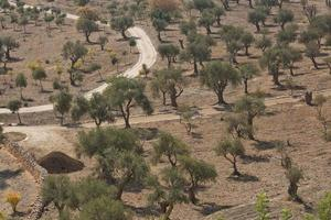Olive trees on Mount of Olives in Jerusalem in Israel during hot summer day photo