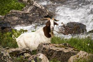 Goats graze in the meadows of south Tyrol photo