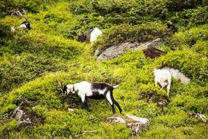 Goats grazing in the meadows of south Tyrol photo