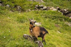 Goat grazing in the meadows of south Tyrol photo
