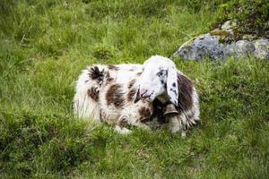 Sheep grazing in Tyrol photo