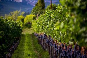 Grape ready for harvesting at Lake Caldaro in Bolzano, Italy photo
