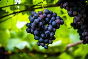 Grapes ready for harvest photo