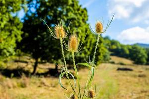 Close up of a dry thistle on blurred background photo