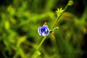 flor de bígaro azul con fondo verde foto