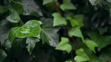 Rain Falling on Green Leaves with A Static Camera video