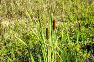 Typha latifolia en el campo foto