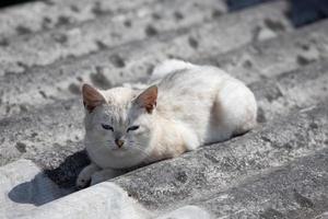 White beautiful cat lies on a gray slate photo