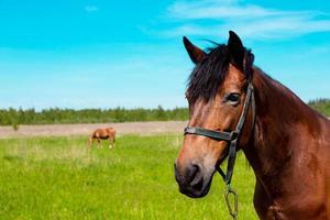 Retrato de caballo marrón en el campo de hierba verde en verano foto