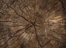 Wood texture of cut tree trunk photo