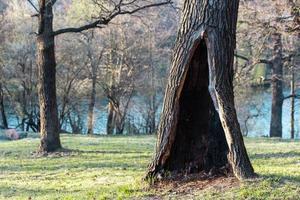 árbol solitario en un parque o bosque de verano o primavera con un gran hueco foto