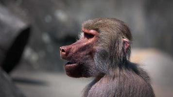 chimpancé animal mamífero video