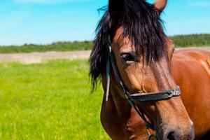 Retrato de caballo marrón en un campo de hierba verde en verano foto