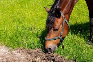 Close-up of head of horse eating grass photo