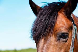 primer plano, de, un, caballo, ojo, y, cabeza foto