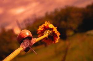 Burgundy snail at sunset in dark red colors and in a natural environment photo
