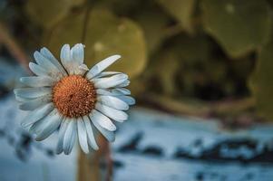 manzanilla en macro foto