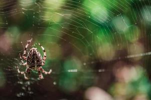 cruz araña hembra en la web foto