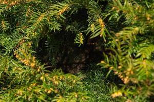 Christmas Fir tree brunch textured Background photo