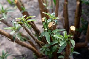 Pruned branch of a butterfly bush growing fresh new leaves photo