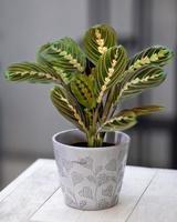 Prayer Plant Maranta Leuconeura in gray ceramic pot photo