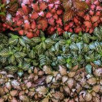 Begonia begonia rex hoja pintada desde arriba foto