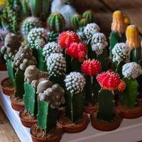 cactus de luna pequeña parodia cactus de árbol de leche africana foto